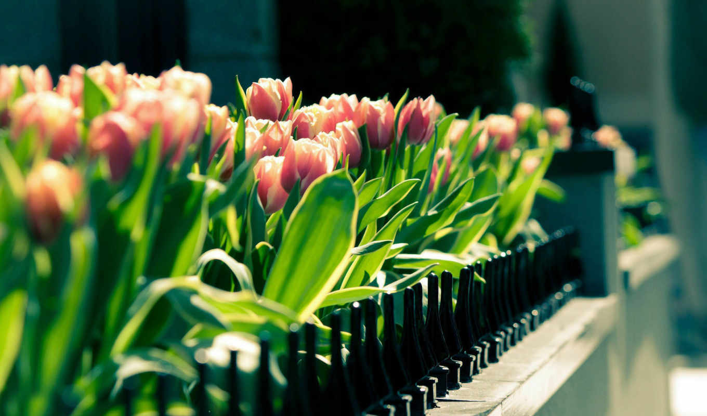 тюльпаны, красивые, живые, cvety, семена, рассада, фитнес, full, весь, latest,