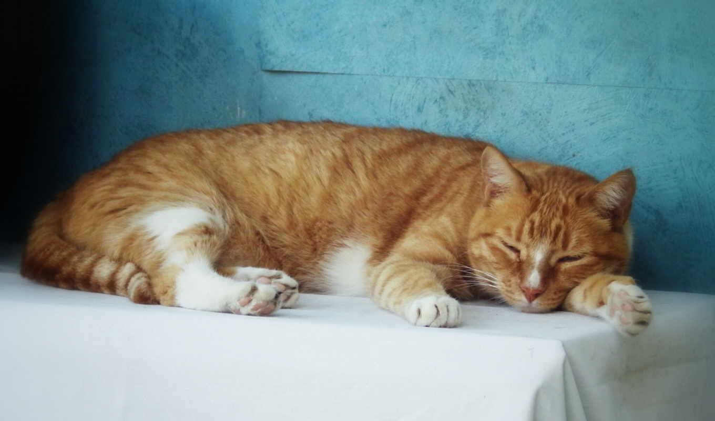 кот, red, телефон, кошки, регистрации, установить, спит, клыки, красивые, отдых,