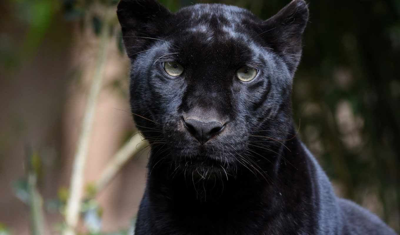 panther, хищник, zhivotnye, gato, negro, леопард, морда, portrait, black, красивые,