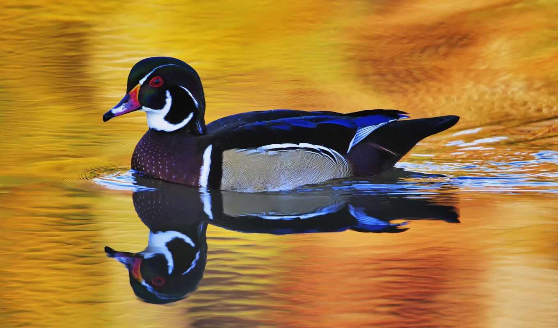 уток, красивый, птица, drake, wild, плывёт, мандаринка, water, ноутбук, utkat, отражение