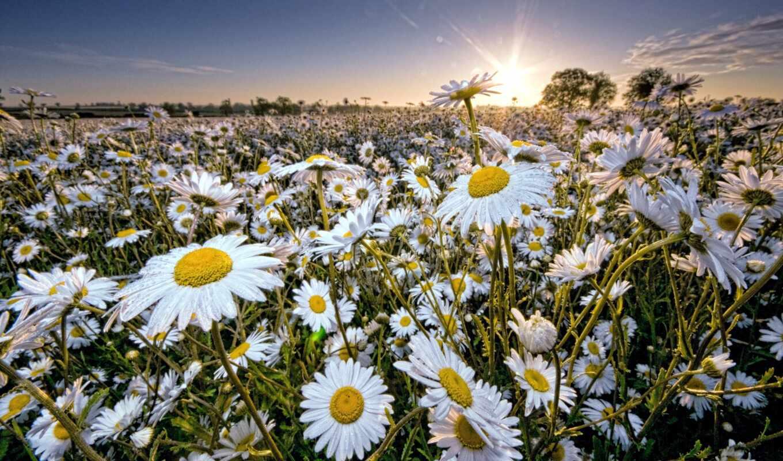 daisy, солнце, sky, ромашки, цветы, rays, поле,
