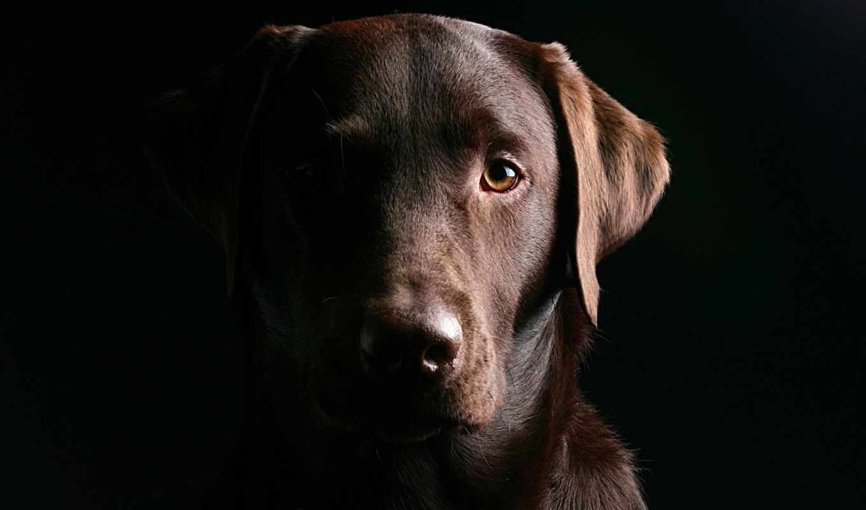 labrador, браун, собака, retriever, морда, свет, black, разрешениях, разных,