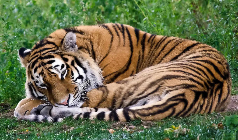 тигр, лежит, спит, свернулся, калачиком, картинка, картинку,