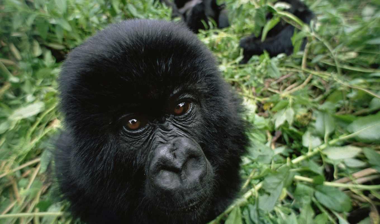 черная, обезьяна, прилепина,