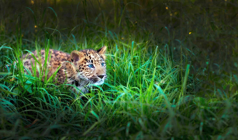 леопард, small, коллекция, леопарды, траве, охотится, кого, that, сидит,