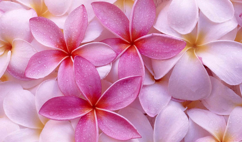 цветов, цветы, лепестки, макро,