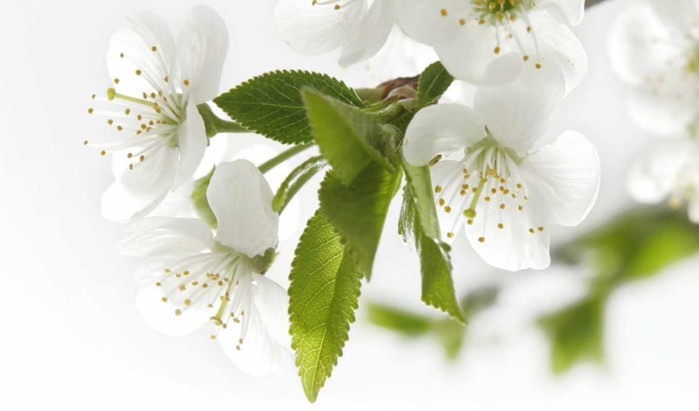 белые, лепестки, яблоня, цветет, картинка, whiteflower, цветы, рожденья, день, весны, теплом, запахло, открытка, марта, праздники,