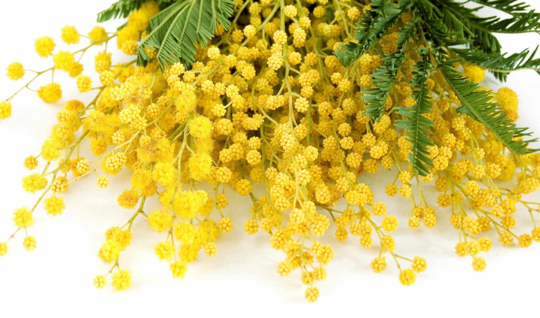мимоза, цветы, мимозы, тюльпаны, mimosa, delicate, white, flowers, весна,