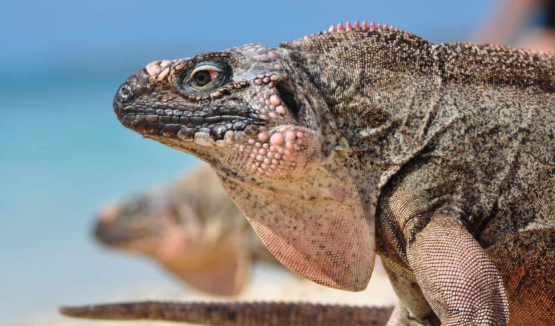 cyclura, reptile, iguana, голова, profile, схема,