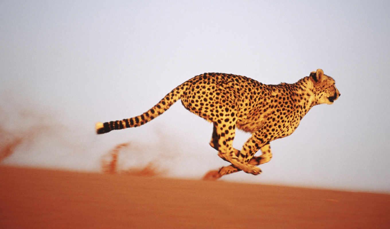 ,гепард, скоростью, бежать,, animal,, hour,