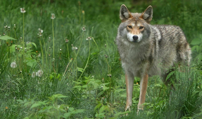 волки, волк, zhivotnye, природа, дикие, серый, яndex, коллекция, ужасный,