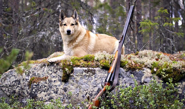 hunting, собака, винтовка, лес, animal, россия, площадь, сделать, militar
