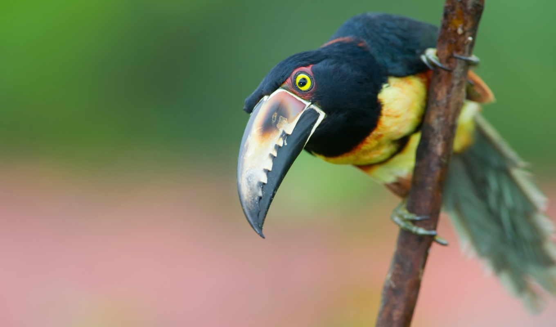 toucan, colorfull, bird, rica, costa, wallpapers,