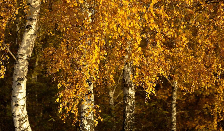 осень, березы, природа,