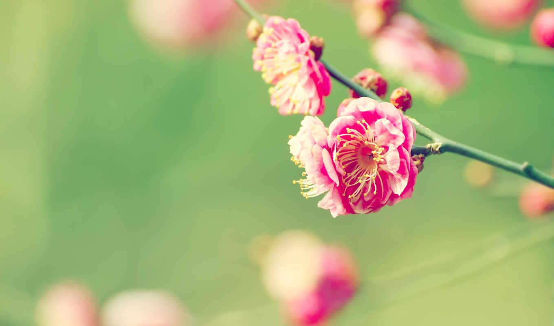 cvety, Сакура, priroda, цветок, вишня, ветка,