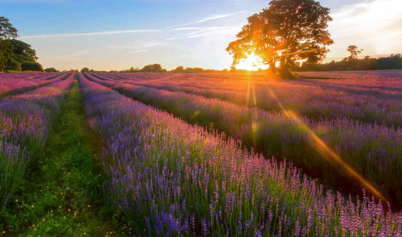 поле, sun, lavender, summer, rays, дерево, trees, margin,