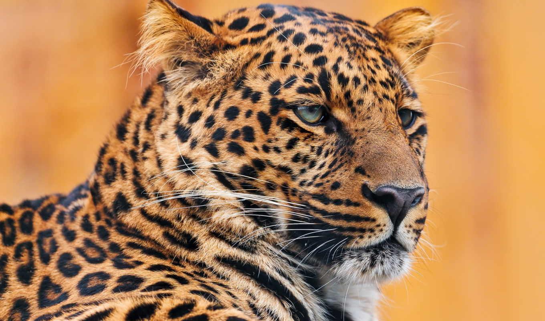 леопард, гепард, zhivotnye, леопарда, кошки, большие, домашние, хищные, морда, звери,