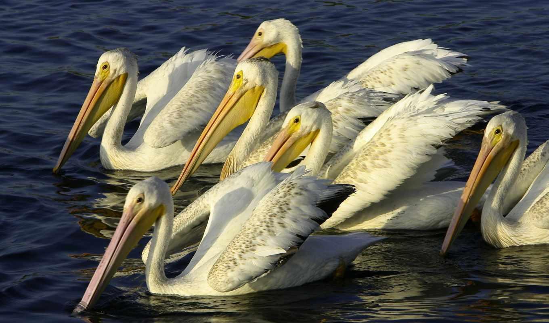 wallpaper, pelicans, desktop, природа, bird, птицы, download, вода,