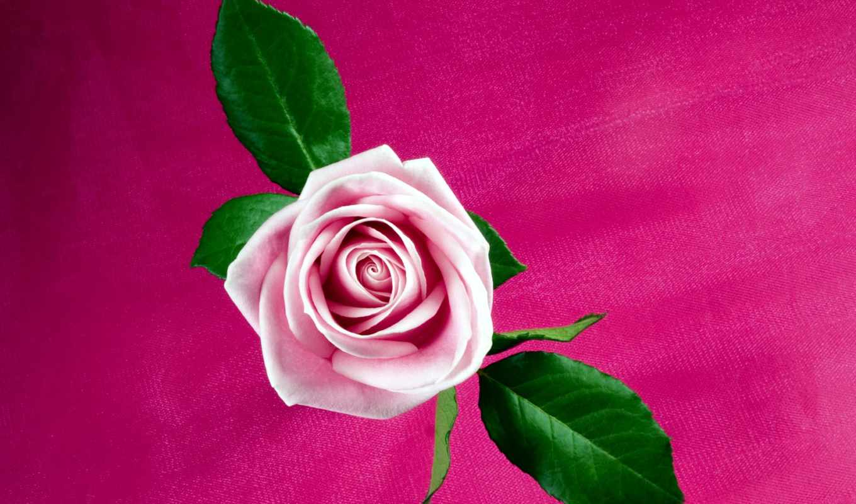роза, розовый, free, природа,