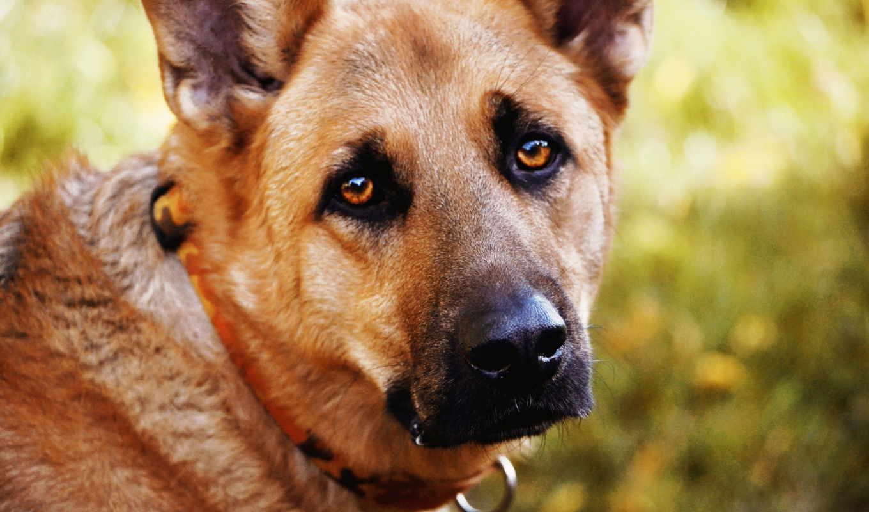 собак, свет, собаки, болезни, глаз, treatment, они, янтаря, капли, радость,