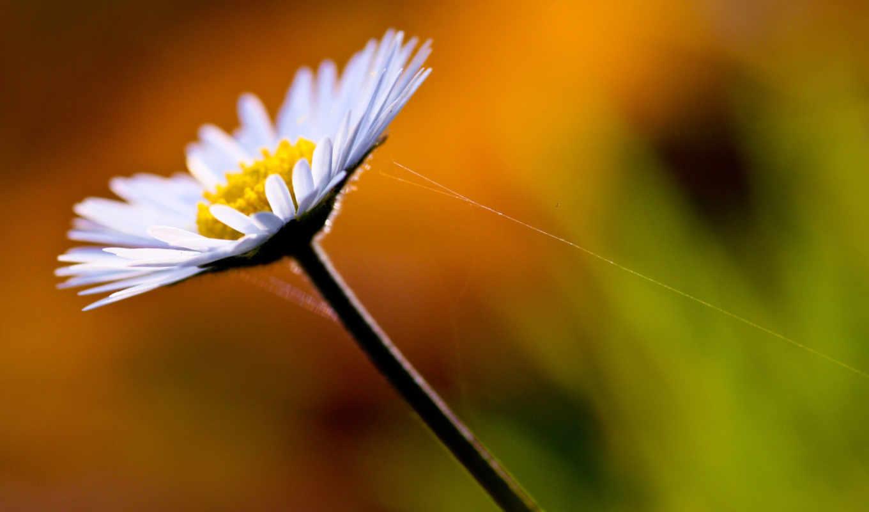ромашка, full, цветы, ромашки, hdtv, fhd, web, поле, спа,