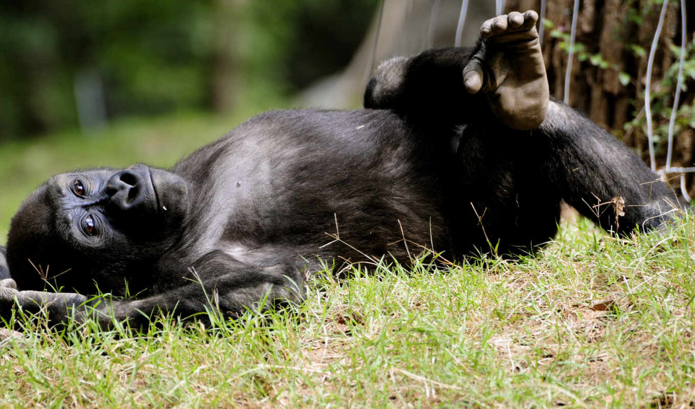 обезьяна, ногу, обезьяны, лежит, закинув,
