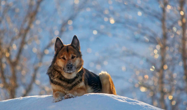 овчарка, немецкая, овчарка, german, zima, собаки, собака, снег,