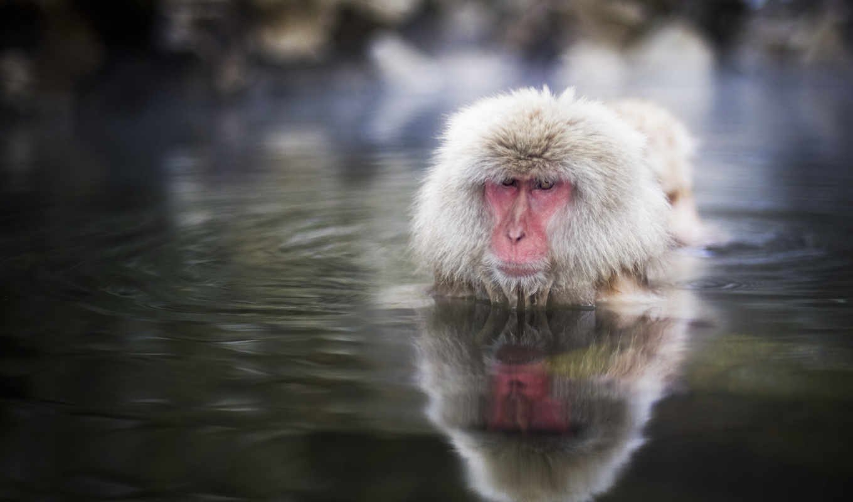 обезьяна, воде, water, обезьяны, шерсть, свой, морда,