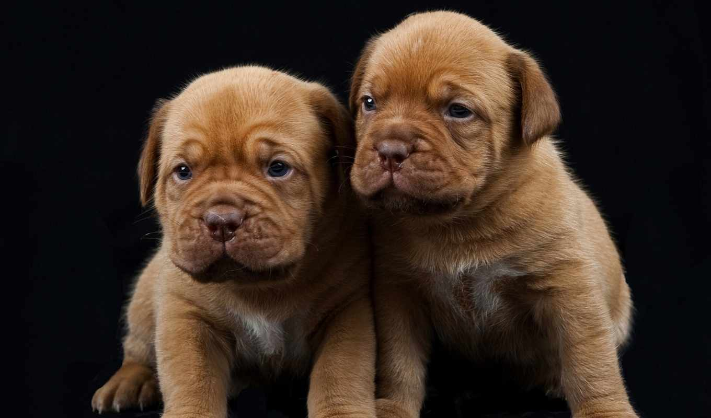 mastiff, бордоский, милые, собаки, щенки, увеличить, preto, fundo, stock, collections,