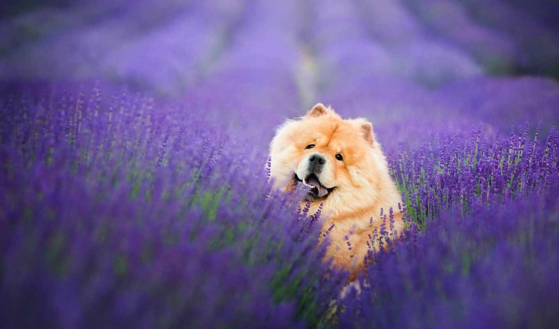 чау, собака, поле, free, пушистый, взгляд, lavender, браун