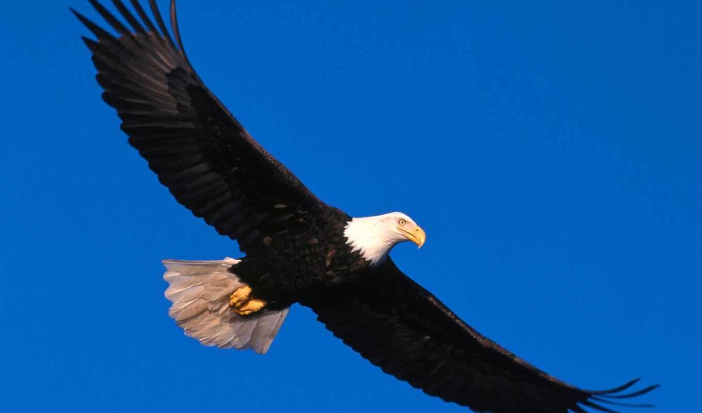 орлан, птица, орлы, king, парение, птицы, птиц, небе,