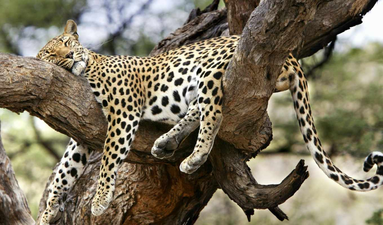 sfondi, leopardo, zhivotnye, кошки, ди, коты, everything, foto, тигр, дикие, pigro,