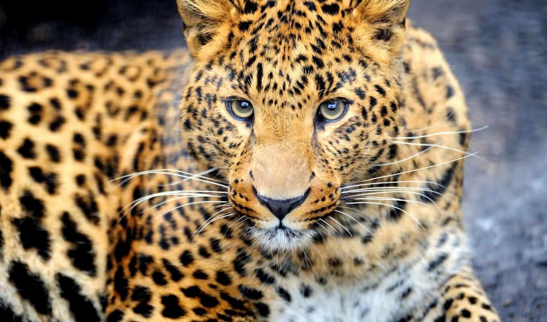 леопард, леопарды, телефон, леопарда, zhivotnye, понравилось, россии, картинку,