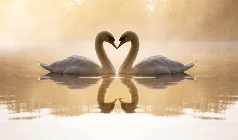 лебедь, full, swans, mute, отлично,
