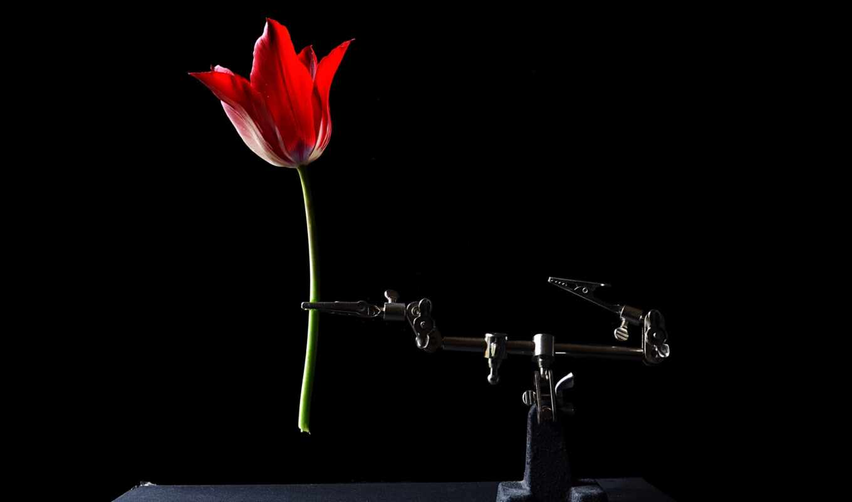 цветы, black, фон, тюльпан, кот, collect, mobile