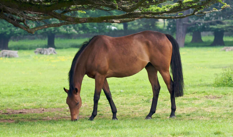 лошадь, лошади, животные, дерево, трава, кони, конь, пастбище, деревья, horse, wallpaper, wallpapers, картинку, grass, eating,