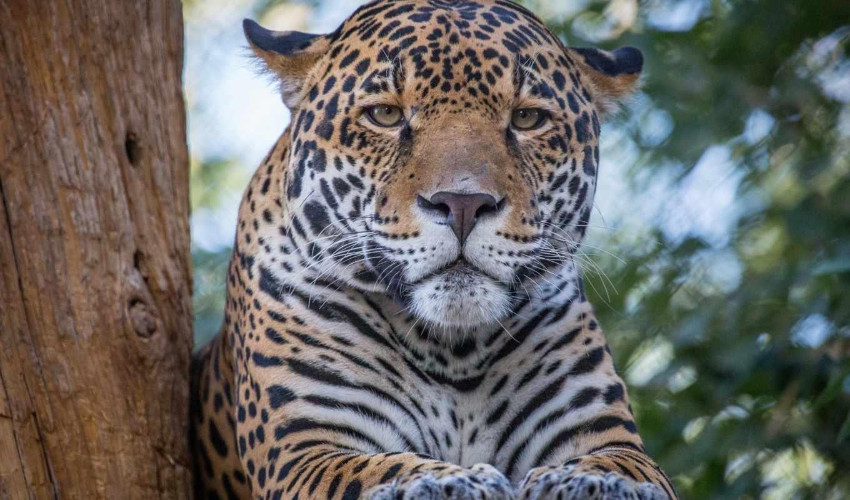 ягуар, морда, лапы, взгляд, усы, категории, кошка, животные, телефон, хищник,