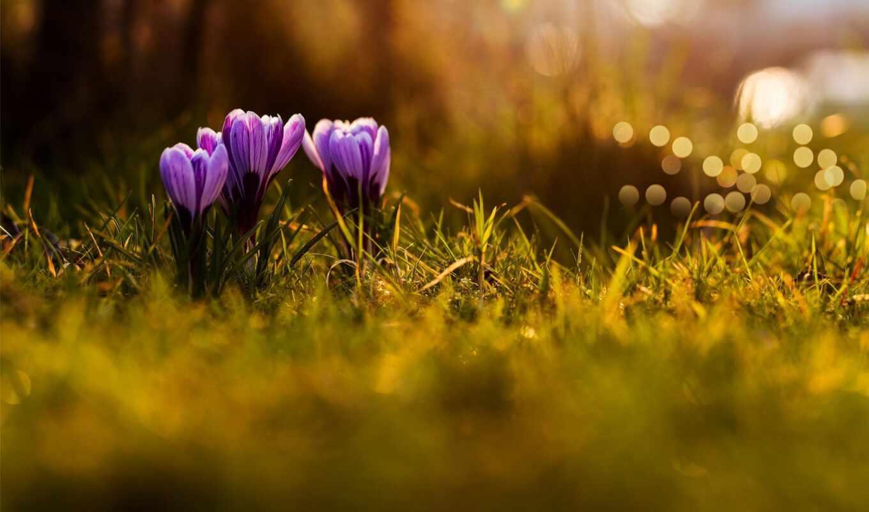 весна, цветы, марта, крокусы, сиреневые, трава,