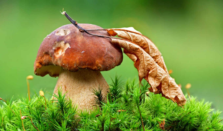 грибы, грибов, белые, даче, possible, collect, дачный, урожайная, траве,