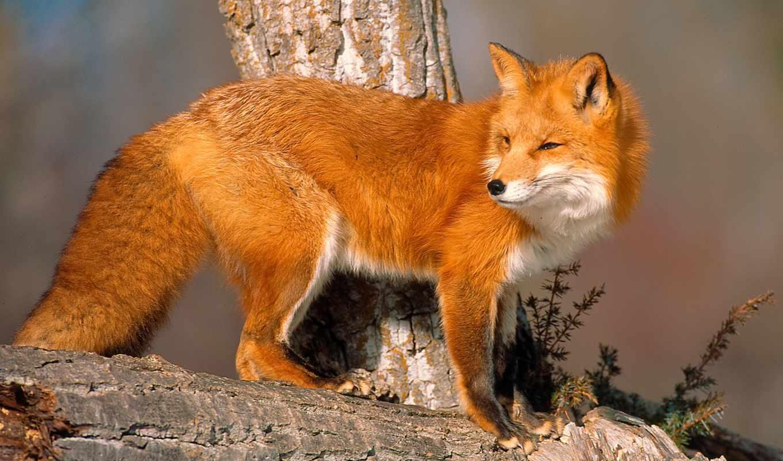 фокс, лисы, солнечный, взгляд, рыжая, zhivotnye, свет,