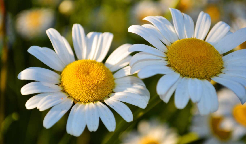 весна, часть, красиво, цветы, фото, ромашки,