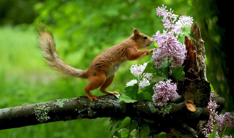 белки, цветы, сиреневый, маленькая,