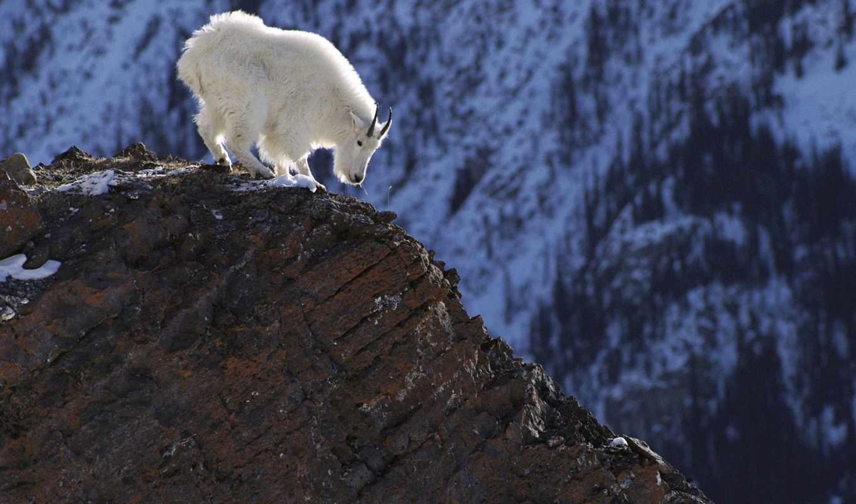 козел, горный, белый, горные, zhivotnye, козлы,