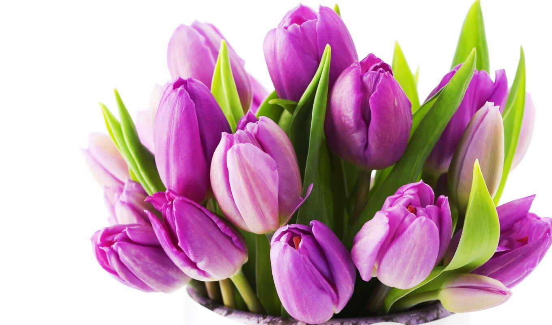 тюльпаны, цветы, красивые, букет, тюльпанов, сиреневые,