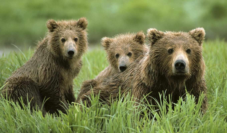 медведи, zhivotnye, медведь, красивые,