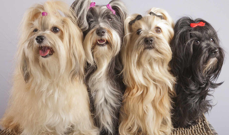 гаванский, бишон, run, собаки, zhivotnye,