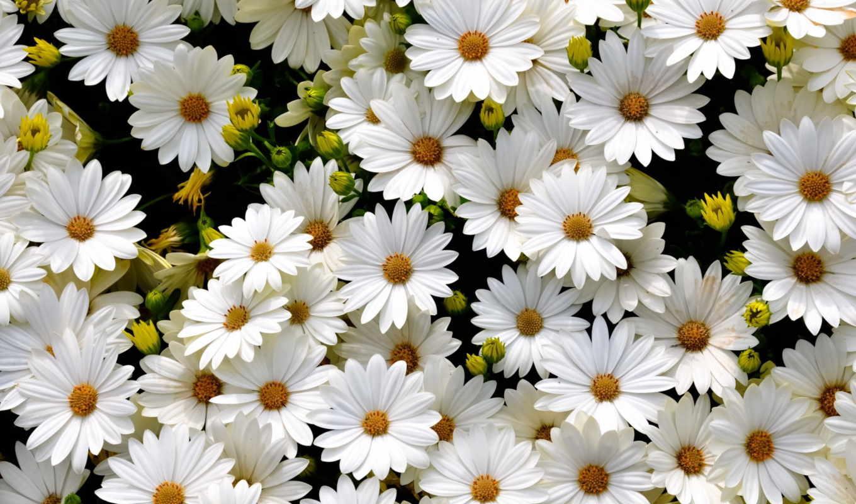 поляна, белых, нежно, цветов, диморфотек, felikc, cvety,