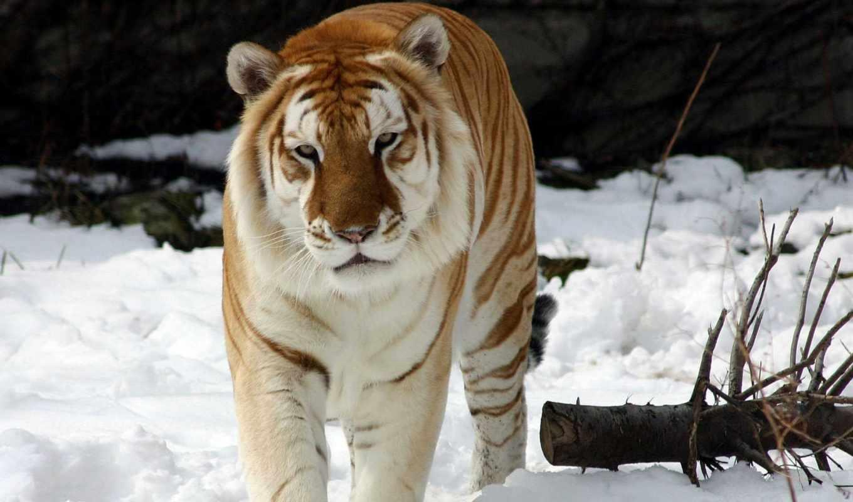 mundo, tigre, mais, tigres, pelo, uma, das, raras, dourado,