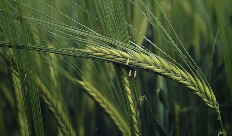 природа, макро, колоски, колосок, трава, колосья, широкоформатные, поле, oboi,
