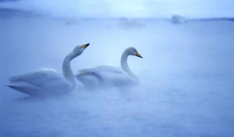 white, swans, лебедь, birds, animals, птица, туман, wga,